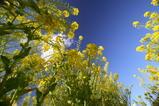 菜の花0311-5