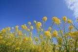 菜の花ワイド0226-2