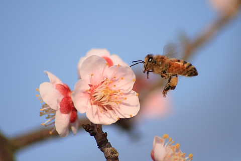 ミツバチ到着480