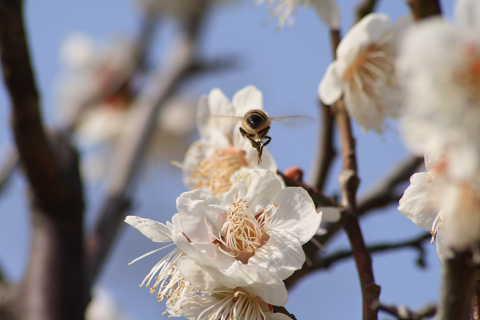 ミツバチお尻480