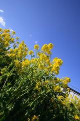 菜の花0311-4