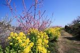 菜の花と梅2