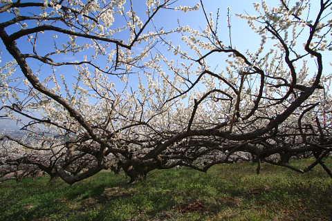 梅の木1本