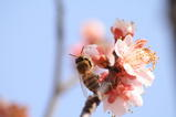 ミツバチ0310