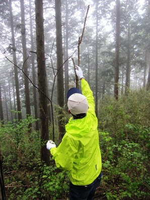 101 小雨の中、森に入ってタラの芽を摘む