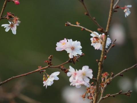 jugatuzakura181130001