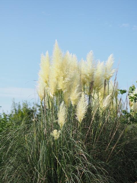 panpasgrass17081910
