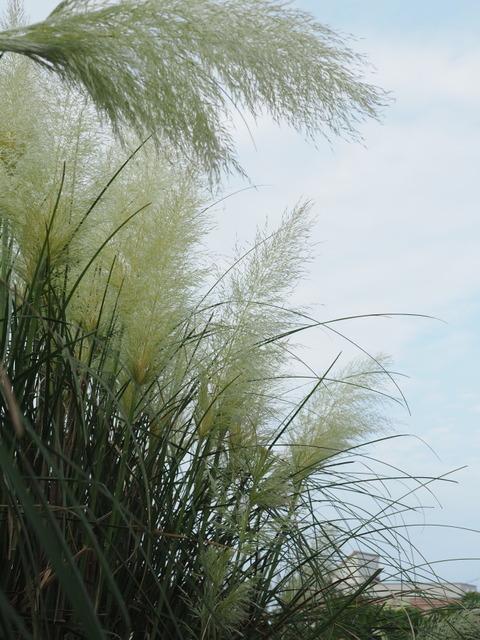 panpasgrass19082130