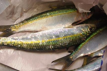 2013.02.05 sardines