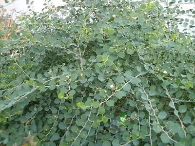2008.08.29 caper bush