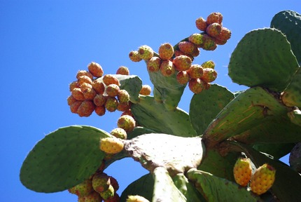 2014.08.25 prickly pear