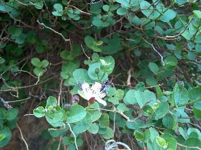 2006.05.03 caper bush