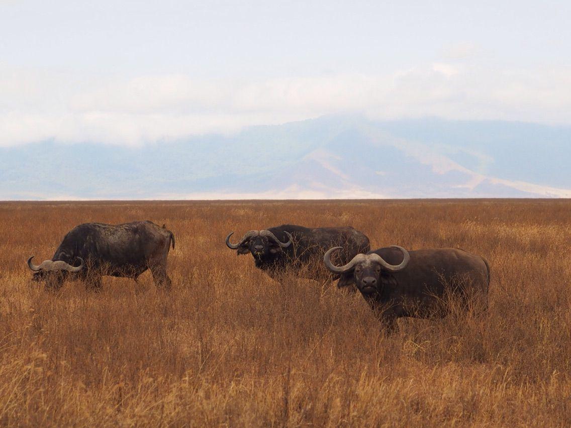 【22ヶ国目:タンザニア】サファリ4日目ンゴロンゴロ自然保護区