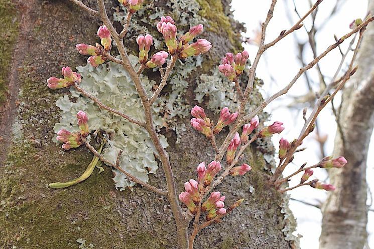 桜開花1日前20210320