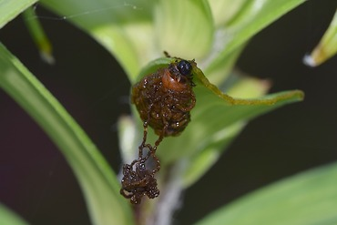 ユリクビナガハムシの幼虫