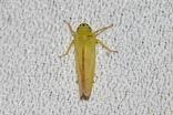 アオモリクワキヨコバイ20200708