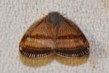 ヒメベッコウハゴロモ20200823