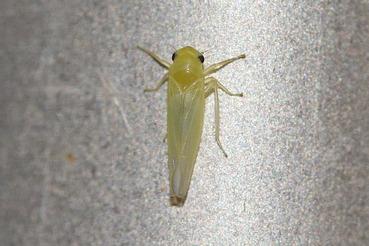 ウメシロヒメヨコバイ20200919