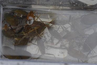 堅田の水生昆虫