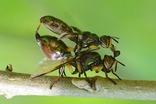 ヒゲナガヒロクチバエ20200602