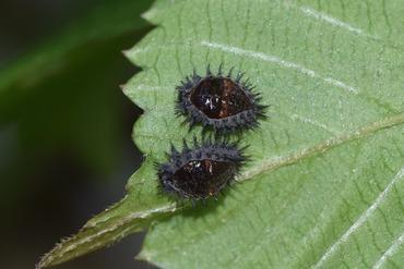 アカホシテントウの蛹