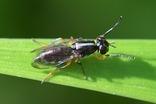 ツマグロホソナガヒロクチバエ20200530