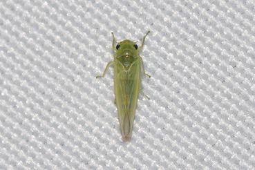 ウメシロヒメヨコバイ20201004