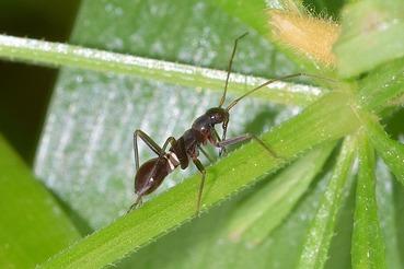 アリに似たカメムシの幼虫