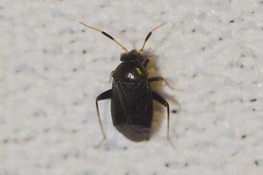 ヒメクロツヤチビカスミカメ20200627