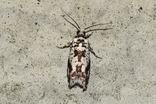 クロマダラシロヒメハマキ20180524
