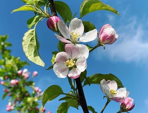 りんご画像