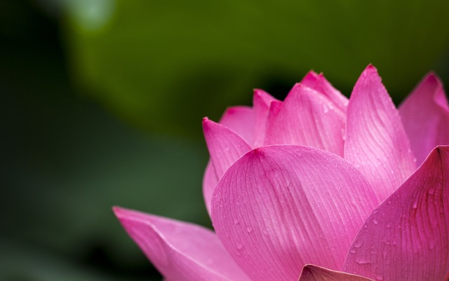 lotus-pink-nature-flowers-39315
