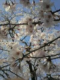 H220409桜