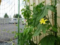 ブログ写真� ゴーヤの花