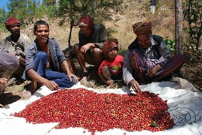 7月のコーヒー豆収穫時期の様子