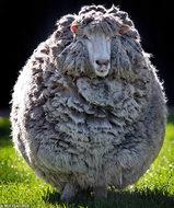 羊毛3年モノ