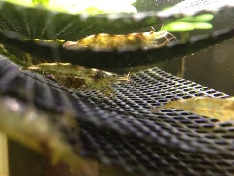 ミナミヌマエビが抱卵