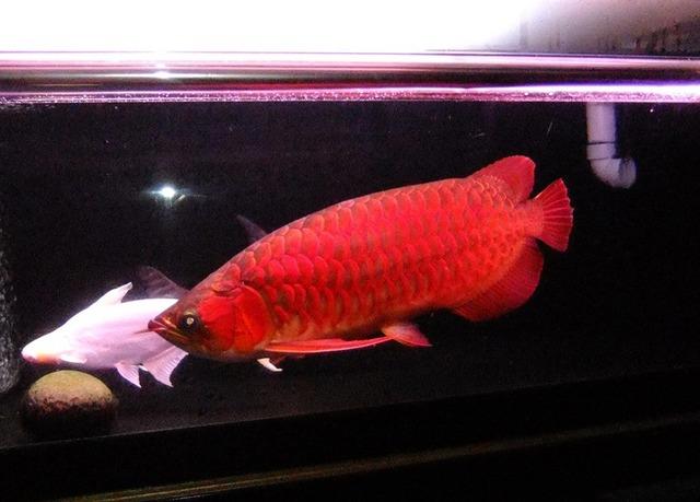 飼育魚成長記録 | アジアアロワ...