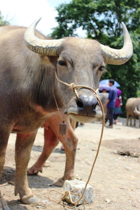 動物の市 牛