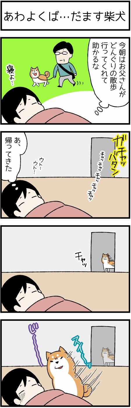 20161129欺く柴犬1