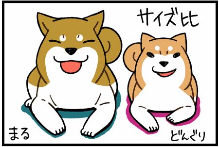 柴犬まる2