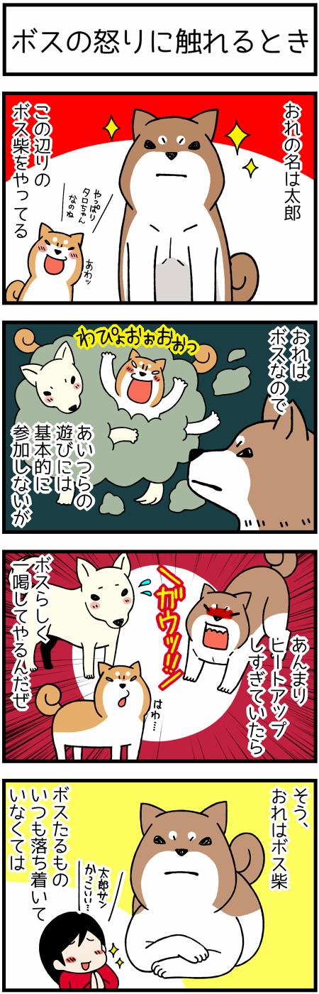 170307ボス柴犬21