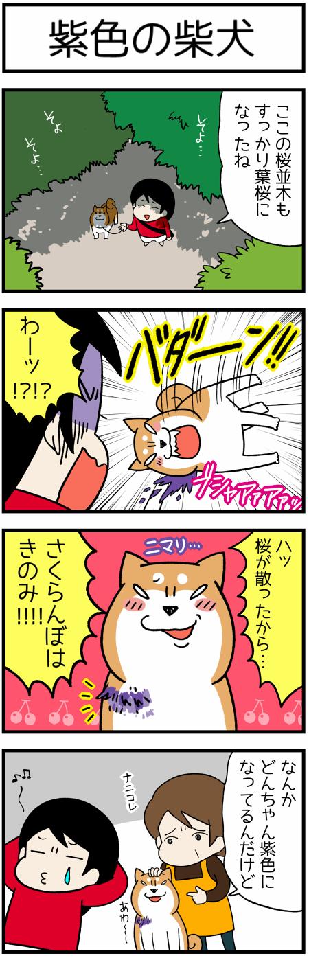 20170529紫の柴犬1
