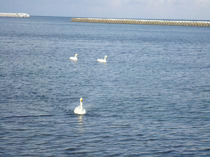 白鳥2013-4