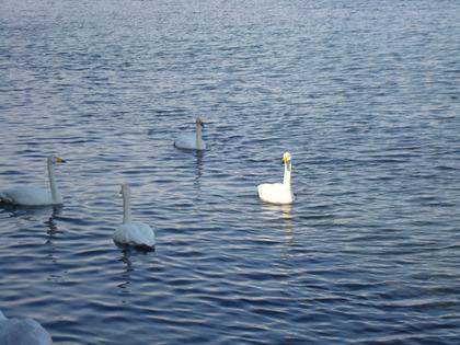 白鳥2013-6