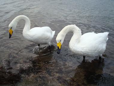 09白鳥4
