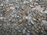 アカヒゲドクガ幼虫1
