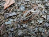 アカヒゲドクガ幼虫2