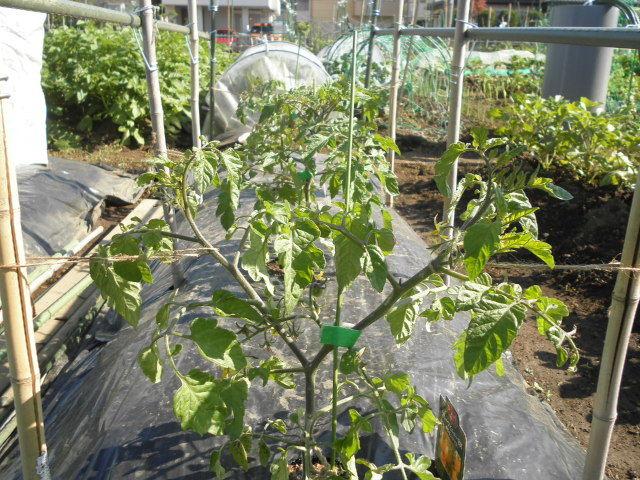 ミニ トマト 2 本 仕立て トマトの2本仕立て トマトの育て方.com