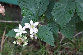 ブラックベリ-の花